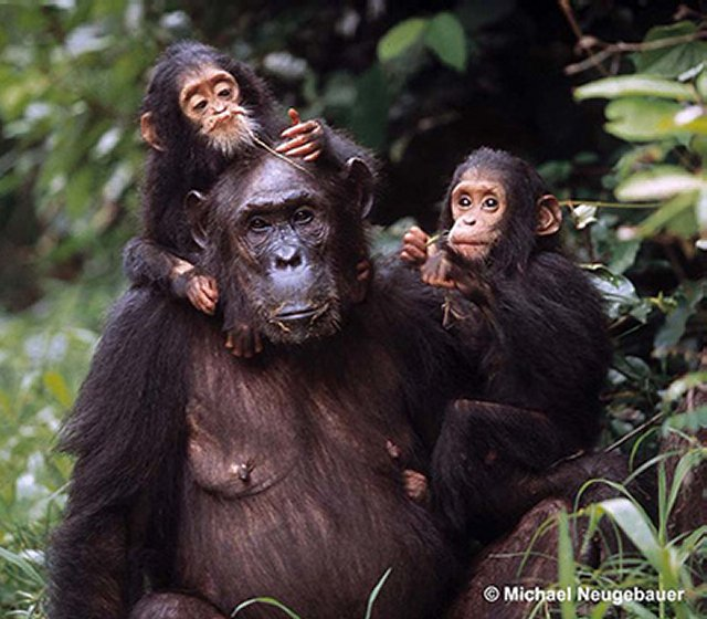 chimpanzee-family-1b