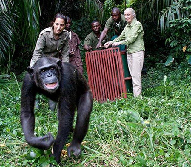 chimpanzee-release-1b