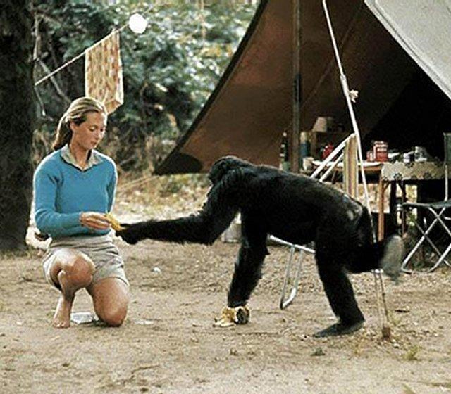 jane-with-chimpanzee-1b